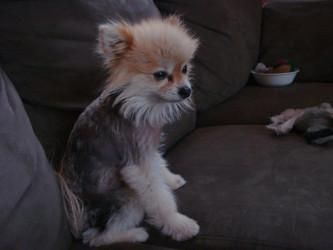 Pictures Of Alopecia X In Dogs