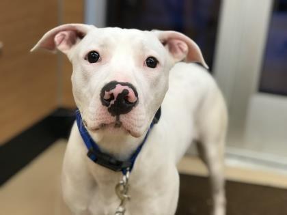 Petango Com Meet Casper 10m 17d Terrier Dalmatian Available