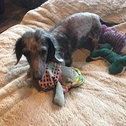 Adopt Junior On Big Bend Tx Pets In Need Dachshund Mix Humane