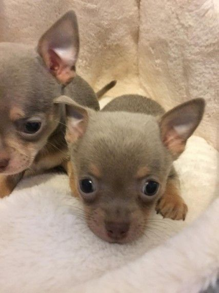 Stunning Chihuahua Puppies Ready To Reserve Chihuahua Puppies