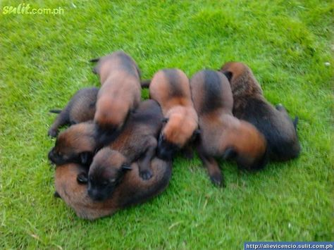 Belgian Malinois Puppies Belgian Malinois Puppies For Sale