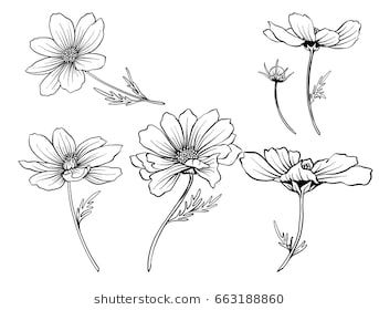 Cosmos Flowers Set Of Outline Flowers Flower Line Drawings Flower Drawing Cosmos Flowers