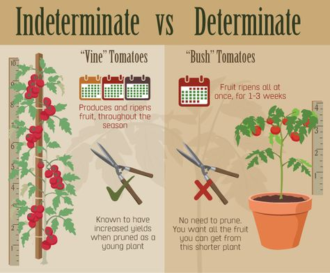 determinate and indeterminate It seems like every year, i hear two complaints from people who grow tomatoes in their home garden one is something like, all my tomatoes are ripening all at once and i have nowhere to put them all.