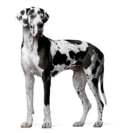 Pin By Sara Savage Realtor On The Greatest Great Danes Great