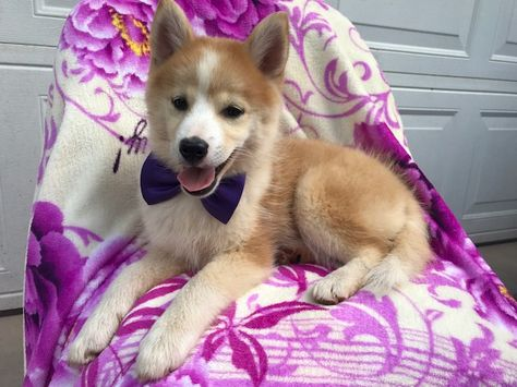 Pomsky Shepherd Maltese Mix Mix Puppy For Sale In Ephrata Pa Adn 36320 On Puppyfinder Com Gender Female Age 1 Puppies For Sale Siberian Husky Mix Puppies