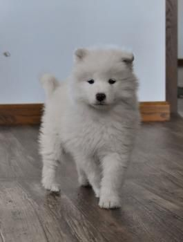 Samoyed Samoyedpuppy Samoyedpuppies Charming Puppiesofpinterest Pinterestpuppies Buckeyepuppies Puppies Pups Pup Puppy Samoyed Puppy Samoyed Puppies