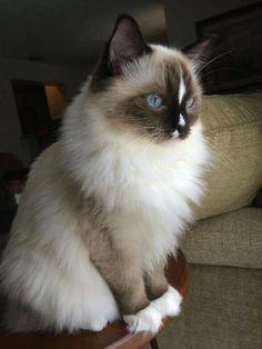 Catsite With Images Cat Breeds