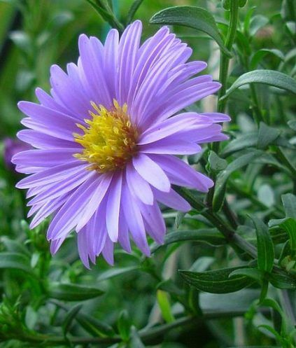 Super Garden Flower Tattoo Yards Ideas September Flowers Aster Flower Flowers Perennials