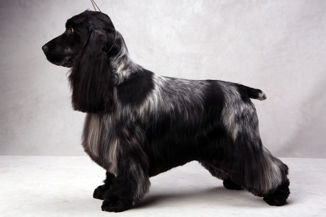 Westminster's Best of Breed 2013 - GCh. Nonnies No Doubt 'Stevie' - English Cocker Spaniel