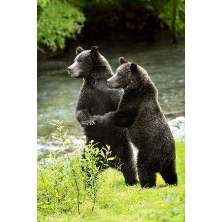 Two Grizzly Bears Canvas Art - Richard Wear Design Pics (22 x 34)