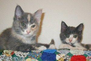 Calico Cats Male Or Female Dengan Gambar Hewan