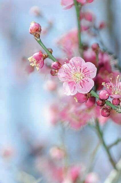 Fiori Di Primavera.Fiori Di Pesco Fiori Di Pesco Fiori Rosa Fiori