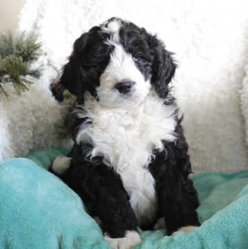 Bernese Mountain Poo Puppy For Sale In Gap Pa Adn 62312 On