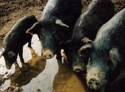 Pondering A Pig Animals Farm Animals Cattle