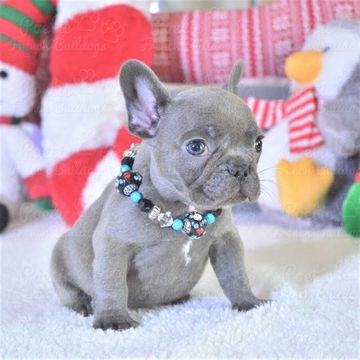 French Bulldog Puppy For Sale In Fort Lauderdale Fl Adn 57126 On
