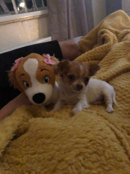Tiny Chihuahua Pup With Images Chihuahua Tiny Dog Breeds Dog Breeder
