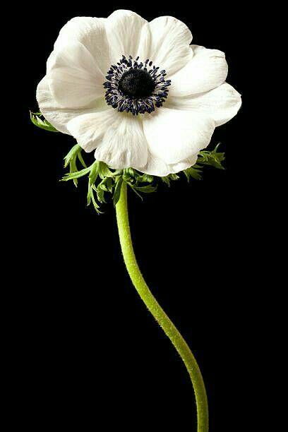 Anemone White Anemone Anemone Flower White Anemone Flower