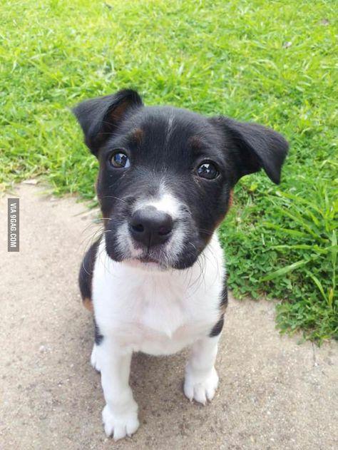 Meet Juno 9 Week Old Staffy X Border Collie Cute Animals
