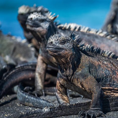Watching the marine iguanas of the Galapagos islands is like looking back to a prehistoric time.......#iguana #marineiguana #galapagos #galapagosislands #worldlizardday #escortedtours #southamerica #latinamerica #discovery #instatravel #travelstagram #travelgram #wildlife #wildlifephotography #planetearth #wanderlust #nofilter