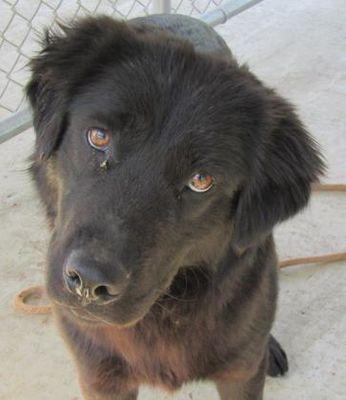 West Memphis Ar Flat Coated Retriever Meet Emmett A Dog For