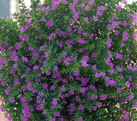 Cuphea Lavender Lace Tried And True Heather Plant Plants Cuphea Plant