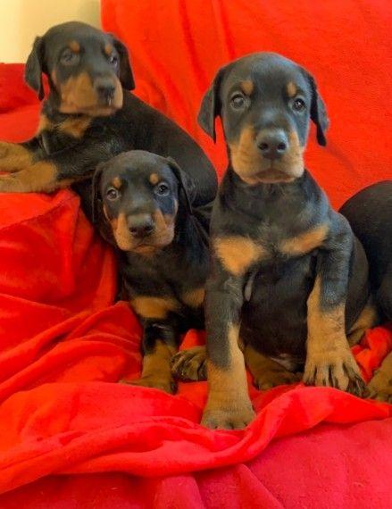 Stunning Kc Registered Dobermann Pups
