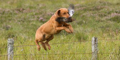 Rufriver Gundogs In Action Silver Labrador Puppies Fox Red