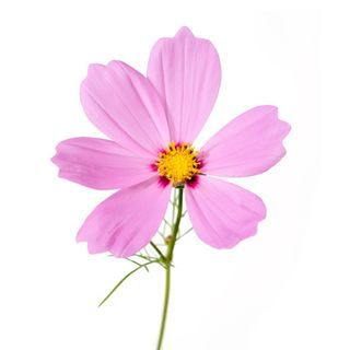 Pink Cosmo Sprout In 5 10 Days Sow According To Package Bloom Continuously Grow 21 22 Cosmos Flowers Wildflower Seeds Flower Beauty