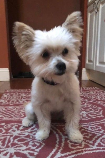 Yorkshire Terrier And Pomeranian Mixed Dog For Adoption In Troy