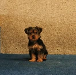 Juliet Teacup Yorkshire Terrier Puppy For Sale In Strasburg Pa Lancaster Puppies Yorkshire Terrier Puppies Puppies For Sale Yorkshire Terrier