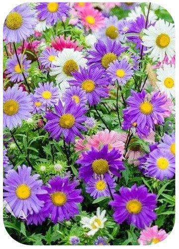 Названия Садовых Многолетних Цветов С Фото