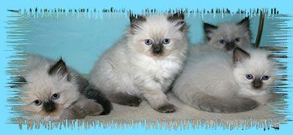 Ragdoll Kittens For Sale In Wisconsin Ragdoll Kitten For Sale In