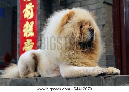 White Chow Fluffy Dogs Chow Chow Puppy Cute Animals