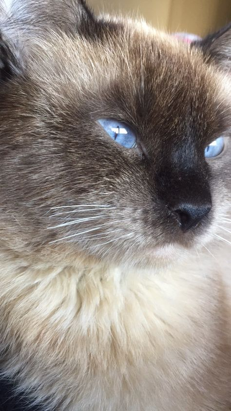Siamese Cat Breeders Websites Kittysites Com