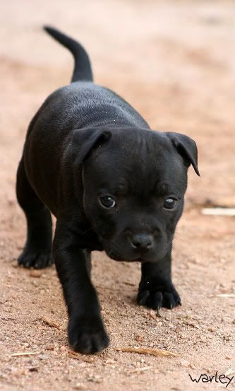 Staffy Puppy Cute Dogs And Puppies Cute Animals Black