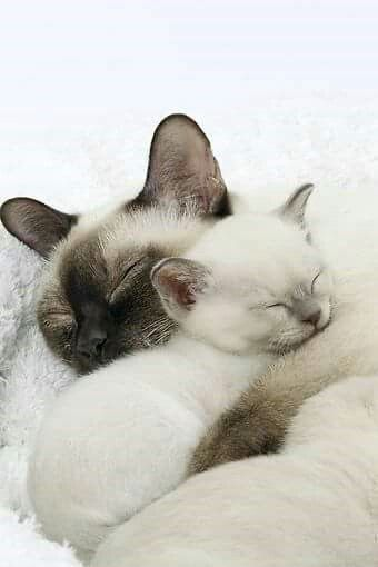 Super Cats And Kittens Siamese Pets Ideas Sleeping Kitten Tonkinese Cat Cute Animals