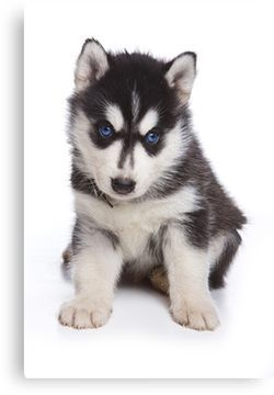 Cute Puppy Husky With Blue Eyes Canvas Print Husky With Blue