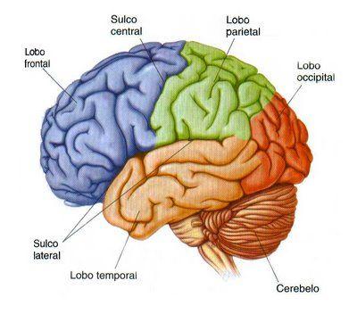 Sistema Nervoso Funções E Elementos Essenciais Sistema