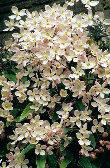 Clematis armandii 'Apple Blossom' has superb evergreen foliage that looks good all year round, accompanied by large sprays of whitish pink, vanilla-scented flowers, deeper pink in bud, in early and mid-spring.