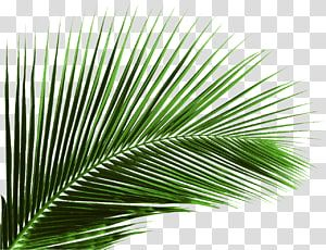 Green Palm Leaf Illustration Arecaceae Leaf Palm Branch Tree Green Banana Leaf Leaves Transparent Backgroun Leaf Illustration Flower Illustration Palm Branch