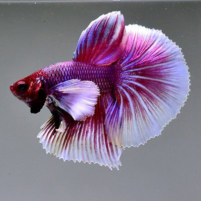 Live Betta Fish Dumbo Lavender Big Ears Nv84 Premium Rare Male Hinh 缣nh