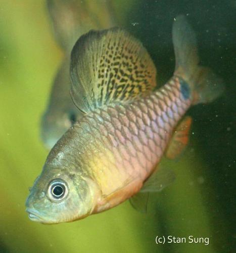 Drape Fin Barb Get Gills Fish For Sale Mind Blown Fish Pet
