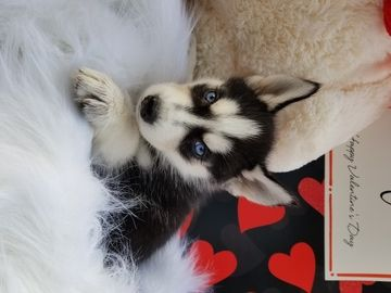 Siberian Husky Puppy For Sale In Warren Ma Adn 64491 On