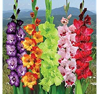 Kraft Seeds Amaryllis Lilly Flower Bulb Pack Of 5 Amazon In Garden Outdoors In 2020 Gladiolus Flower Orchid Seeds Bulb Flowers