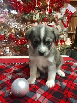 Litter Of 5 Pomsky Puppies For Sale In Augusta Wv Adn 60122 On