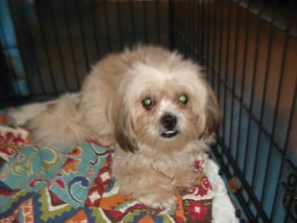 Adopt 41271124 Available 4 17 On Pet Adoption Shih Tzu Adoption