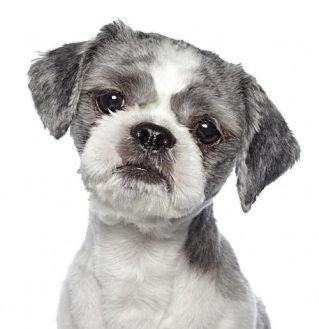 Shih Tzu Puppies For Sale In Ga Al Fl Tn Nc Sc For Sale By