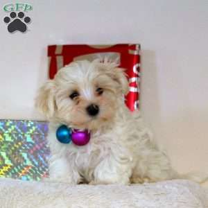 Maltese Puppies For Sale Maltese Breed Profile Greenfield Puppies In 2020 Maltese Puppy Toy Dog Breeds Maltese Puppies For Sale