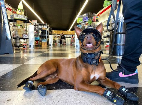 What is your idea of a fun day? Love @rawdawgbruno all suited and booted! - 📷 @rawdawgbruno - had a fun day with the human looking at cars all day. ended up stopping by detailgaragemontclair 🐶🖤😈. . . . . . #doberman #dobbie #dobbiemix #dobermanmix #pitbull #pitbullmix #mixbreed #mutt #dog #dogsofinstagram #hiking #hikingwithdogs #adventuredogs #onetigris #tactipup #thegodhimself10thgenfanatic #k9opsusa #doglover