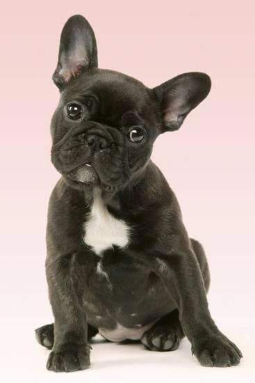 French Bulldog Puppy Photographic Print At Allposters Com
